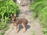 Собаки, щенята Російський гладкошерстий тойтерьер, ціна 7000 Грн., Фото