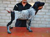 Собаки, щенки Немецкая гладкошерстная легавая, цена 10500 Грн., Фото