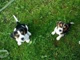 Собаки, щенята Бігль, ціна 4400 Грн., Фото