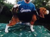 Собаки, щенята Бігль, ціна 2000 Грн., Фото