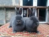 Гризуни Кролики, ціна 600 Грн., Фото