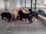 Собаки, щенки Среднеазиатская овчарка, цена 13000 Грн., Фото