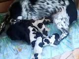 Собаки, щенки Русский спаниель, цена 7000 Грн., Фото