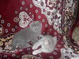 Кішки, кошенята Шотландська висловуха, ціна 600 Грн., Фото