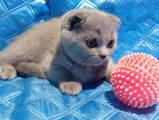 Кошки, котята Британская короткошерстная, цена 3500 Грн., Фото
