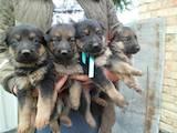 Собаки, щенята Німецька вівчарка, ціна 700 Грн., Фото
