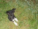 Собаки, щенки Русско-Европейская лайка, цена 1100 Грн., Фото