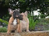 Собаки, щенята Французький бульдог, ціна 350 Грн., Фото
