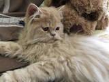 Кошки, котята Персидская, цена 1000 Грн., Фото