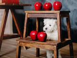 Собаки, щенки Вестхайленд уайт терьер, цена 13000 Грн., Фото