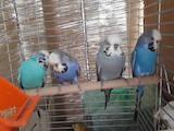 Папуги й птахи Папуги, ціна 1000 Грн., Фото