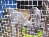 Собаки, щенята Кане Корсо, ціна 2000 Грн., Фото