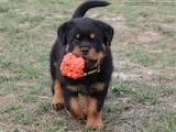 Собаки, щенята Ротвейлер, ціна 13000 Грн., Фото