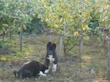 Собаки, щенки Русско-Европейская лайка, цена 950 Грн., Фото
