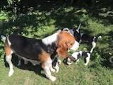 Собаки, щенки Бигль, цена 4000 Грн., Фото