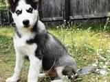 Собаки, щенки Сибирский хаски, цена 3900 Грн., Фото