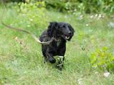 Собаки, щенки Русский спаниель, цена 10 Грн., Фото