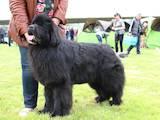 Собаки, щенята Ньюфаундленд, ціна 12000 Грн., Фото