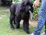 Собаки, щенки Ньюфаундленд, цена 12000 Грн., Фото