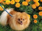 Собаки, щенки Померанский шпиц, цена 31000 Грн., Фото