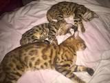 Кішки, кошенята Бенгальськая, ціна 5500 Грн., Фото