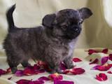Собаки, щенки Чихуа-хуа, цена 10500 Грн., Фото