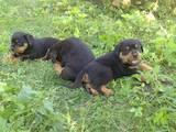 Собаки, щенки Ротвейлер, цена 3500 Грн., Фото