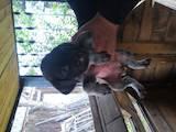 Собаки, щенята Німецька жорсткошерста лягава, ціна 800 Грн., Фото