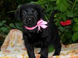 Собаки, щенки Лабрадор ретривер, цена 5500 Грн., Фото