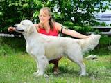 Собаки, щенки Золотистый ретривер, цена 8000 Грн., Фото