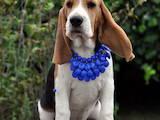 Собаки, щенята Бігль, ціна 18000 Грн., Фото