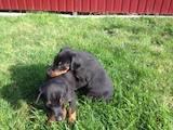 Собаки, щенята Доберман, ціна 6000 Грн., Фото