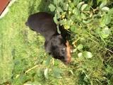 Собаки, щенки Доберман, цена 6000 Грн., Фото