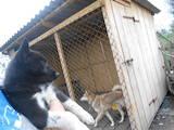 Собаки, щенки Русско-Европейская лайка, цена 750 Грн., Фото