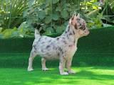Собаки, щенки Чихуа-хуа, цена 2500 Грн., Фото
