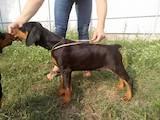 Собаки, щенки Доберман, цена 13000 Грн., Фото