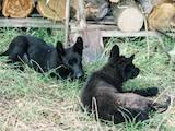 Собаки, щенки Немецкая овчарка, цена 7500 Грн., Фото
