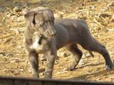 Собаки, щенята Грейхаунд, ціна 10200 Грн., Фото