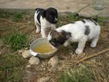 Собаки, щенки Русский спаниель, цена 400 Грн., Фото