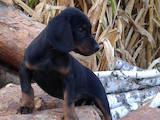 Собаки, щенки Эстонская гончая, цена 6500 Грн., Фото