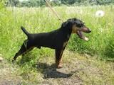 Собаки, щенки Ягдтерьер, цена 4000 Грн., Фото