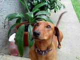 Собаки, щенята Гладкошерста такса, ціна 10 Грн., Фото