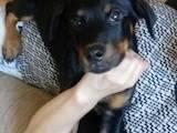 Собаки, щенки Ротвейлер, цена 2700 Грн., Фото