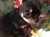 Собаки, щенята Чихуа-хуа, ціна 6000 Грн., Фото
