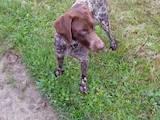 Собаки, щенята Німецька гладкошерста лягава, ціна 2500 Грн., Фото