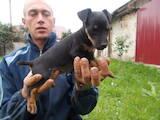 Собаки, щенки Ягдтерьер, цена 1000 Грн., Фото