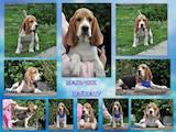 Собаки, щенята Бігль, ціна 12000 Грн., Фото