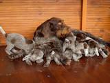 Собаки, щенята Німецька жорсткошерста лягава, ціна 17000 Грн., Фото