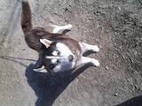Собаки, щенята Сибірський хаськи, ціна 2300 Грн., Фото