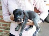 Собаки, щенята Німецька жорсткошерста лягава, ціна 1200 Грн., Фото